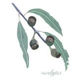 Eukalyptus-Gummi verlässt und Gummi-Nussvektorillustration Stockfotografie