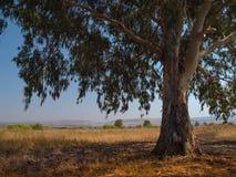Eukalyptus i fältet Royaltyfri Foto