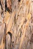 Eukalyptus mit der Barke, die weg in Fetzen abzieht lizenzfreies stockfoto