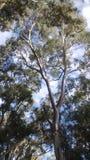 Eukalyptus-Südaustralier-Adelaide-Sonnensatz Stockfoto