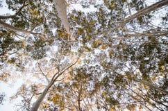 Eukalyptus skog som ser upp Fotografering för Bildbyråer