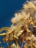 Eukalyptus tereticornis weiße Blumen und Knospen Stockbild