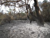 Eukalyptus umgeben durch wei?e Asche vom Bushfire lizenzfreies stockbild