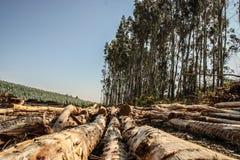 Eukalyptus-Wald lizenzfreie stockfotos