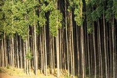 Eukalyptus-Wald an KOHMak lizenzfreies stockfoto
