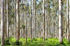 Eukalyptus-Wald an KOHMak Stockfotografie