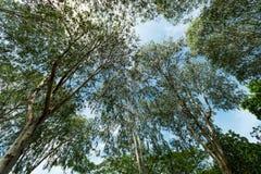 Eukalyptusbäume, die für den Himmel erreichen Lizenzfreie Stockfotografie