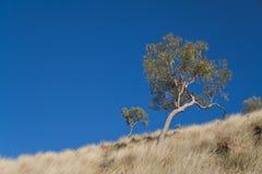 Eukalyptusbaum Lizenzfreie Stockfotos