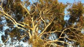 Eukalyptusbaum Stockfotos