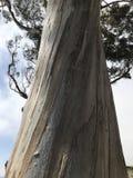 Eukalyptusbaum, der zum Himmel erreicht lizenzfreies stockfoto