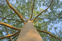 Eukalyptusbaum Niedrige Winkelsicht Stockfoto