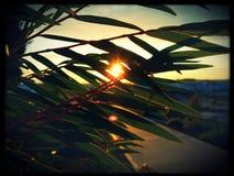 Eukalyptusblätter Stockbilder