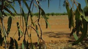 Eukalyptusblätter, die durch Straße eines Hinterlandes hängen stock video