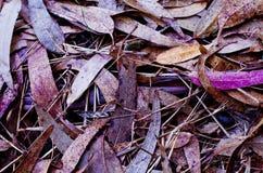 Eukalyptusblätter im Lavendel Stockfotos