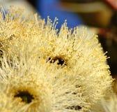 Eukalyptusblomma med biet inom Arkivbild