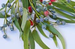 Eukalyptusblätter Lizenzfreie Stockfotos
