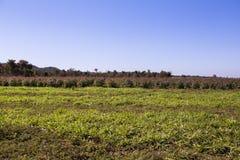 Eukalyptusfeld Stockbild