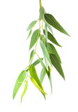 Eukalyptusfilial Arkivfoto