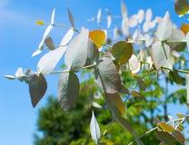 Eukalyptusfilial med blå bakgrund Arkivfoto