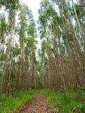 Eukalyptuskoloni i Brasilien - cellulosa för koloni för trädlantbruk royaltyfria foton