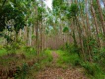 Eukalyptuskoloni i Brasilien - cellulosa för koloni för trädlantbruk arkivfoto