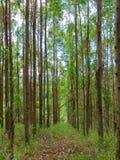 Eukalyptuskoloni i Brasilien - cellulosa för koloni för trädlantbruk fotografering för bildbyråer