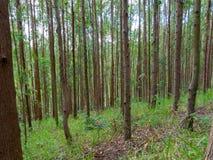 Eukalyptuskoloni i Brasilien - cellulosa för koloni för trädlantbruk arkivbilder