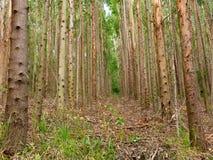 Eukalyptuskoloni i Brasilien - cellulosa för koloni för trädlantbruk royaltyfri bild