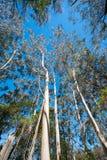 Eukalyptuslocke, die zu den blauen Himmel sich entwickelt Stockfoto