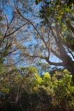 Eukalyptuslocke, die zu den blauen Himmel sich entwickelt Stockfotos