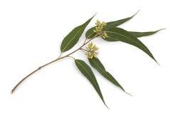 Eukalyptusniederlassung Lizenzfreies Stockfoto