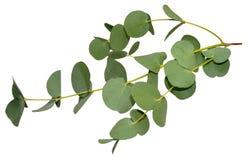 Eukalyptussidor royaltyfria bilder