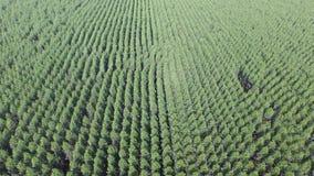 Eukalyptusskörd i solig dag