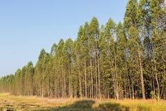 Eukalyptusträd Arkivfoto
