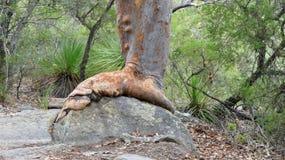 Eukalyptusträd i dencirkel-Gai jakten Nationalpark, NSW, Australien Arkivbild