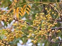 Eukalyptusträd i nedgång Royaltyfria Foton