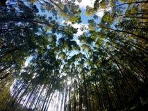 Eukalyptusträd mot blå himmel arkivbilder