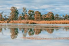 Eukalyptusträd och vass som reflekterar i Murray River arkivbild