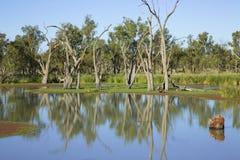 Eukalyptusträd på banken av floden Murray Södra Australien Arkivbild