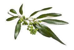 Eukalyptusträdsidor och frukt royaltyfri fotografi