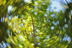 Eukalyptusträdvirvel Royaltyfri Bild