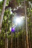 Eukalyptusväg Royaltyfria Bilder