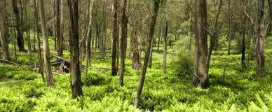 Eukalyptuswald- und -farnblätter Stockfoto