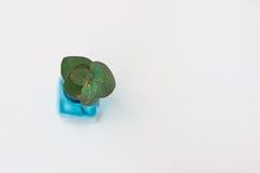 Eukalyptuszweig des silbernen Dollars in der blauen Glasflasche auf weißem Hintergrund, Draufsicht, copyspace, redete Bild, Model Stockfotografie