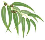 Eukalyptuszweig. Vektorabbildung. Lizenzfreie Stockbilder