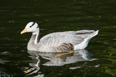 Eulabeia, Anser indica, Bar-headed Goose Royalty Free Stock Image