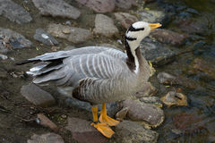 Eulabeia, Anser indica, Bar-headed Goose Stock Image