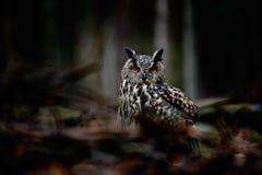 Eule auf dunkler Waldgroßen Eurasier Eagle Owl, Vogel, der auf dem Baumstumpf mit grünem Moos in der dunkler Waldschönen seltenen Stockbilder