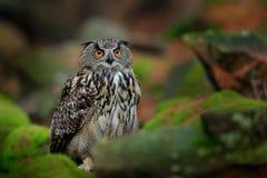 Eule im Waldlebensraum, grüner Moosstein Eurasier-Eagle Owl-witb großes orange Auge, Polen Szenennatur der Vogelaktionswild leben Stockbilder