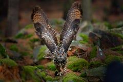 Eule im Waldlebensraum, Steinhügel Fliegen-Eurasier Eagle Owl mit offenen Flügeln im Waldlebensraum, Deutschland Eulenanfangsflug Lizenzfreie Stockfotografie